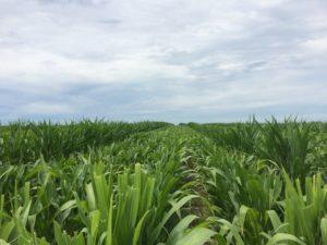 Hybrid seed corn field