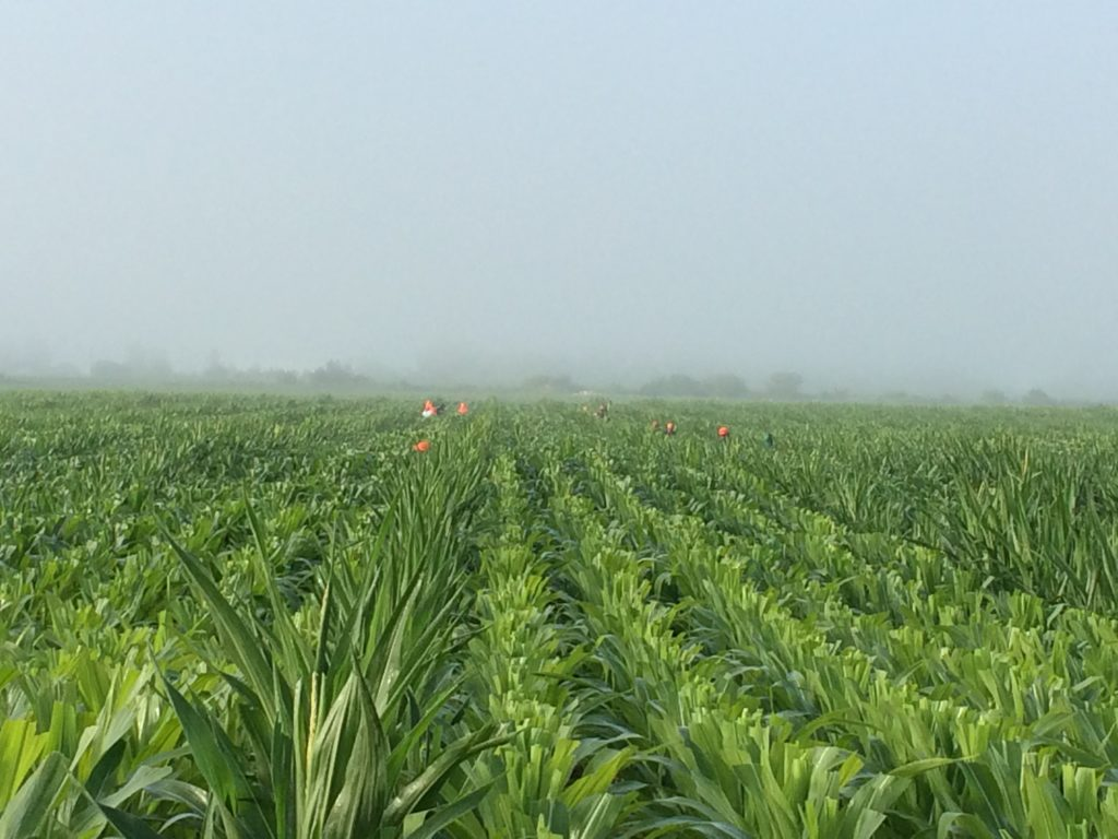 Into the corn, people hand-pull remaining tassels